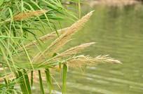 湖边的芦苇花草