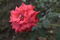 九月盛开的红色月季花