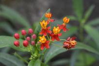 九月盛开的马利筋花朵