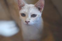 蓝色瞳孔的猫咪