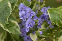 蓝紫色花朵如意草