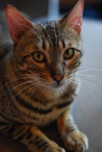 老虎纹猫咪