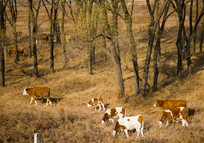 林中吃草的牛群