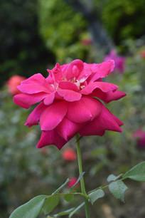 玫瑰红色花朵月季