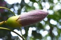 美丽异木棉花苞