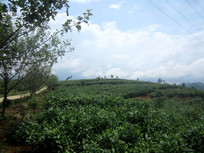 山上的茶园
