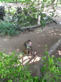 喂奶的母猴