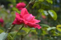 鲜艳红色玫瑰花