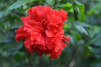 鲜艳红色重瓣朱槿牡丹