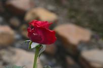 小朵红色玫瑰花