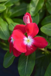 一朵红色长春花