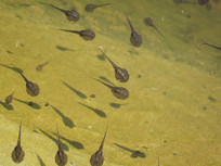 沼泽里的蝌蚪