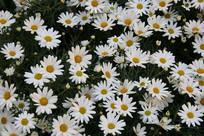 白色小菊花花丛