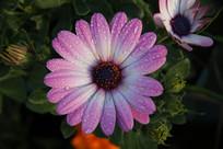 带水珠的紫色黑心菊花