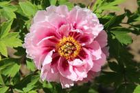 粉红色的多层花瓶牡丹花