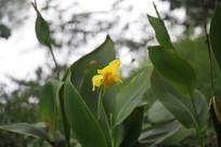 茅家埠荷塘边芭蕉叶与黄色花朵