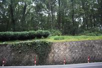 茅家埠路边树林与藤蔓