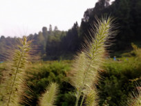毛绒绒的针刺草