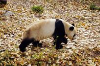 行走的大熊猫