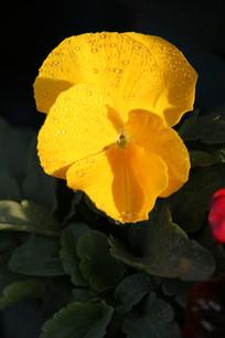 阳光光下的蝴蝶花