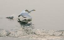 展翅的天鹅