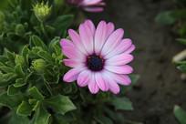 紫白白渐变的黑心菊花
