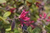 紫红色花朵红继木