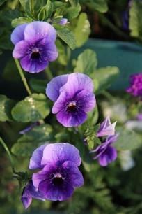 紫色的的蝴蝶花花儿