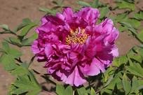 紫色的多层花瓶牡丹花