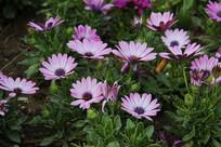 紫色小菊花花丛