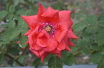 传统名花红色月季花