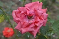 传统名花桃红色月季花