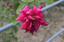 传统名花鲜桃红色月季花