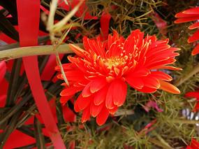 大红色菊花