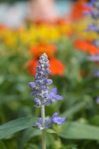 粉萼鼠尾草花朵