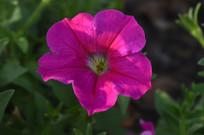 红色碧冬茄花朵摄影图
