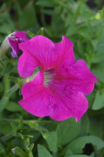 红色碧冬茄花朵图片