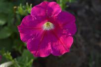 红色碧冬茄花儿高清大图