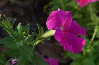 红色碧冬茄花儿拍摄图