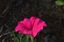 红色碧冬茄花开了