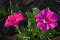 红色花朵花卉碧冬茄