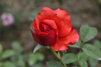红色花玫瑰花