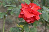 红色花月季花