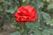 花红色的月季花