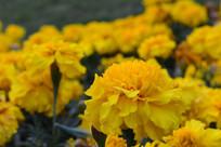 黄色娇艳的花朵