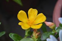 黄色马齿苋花朵