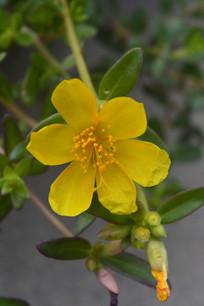 黄色午时花