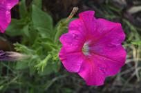 花坛皇后碧冬茄