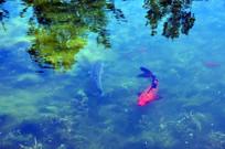 湖里的锦鲤