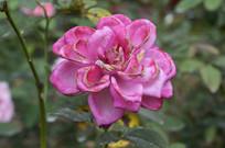 混合粉桃红色月季花